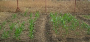 Andrea's sorghum: left, conventional, right FGW