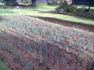 Onions grown in conventional way at a demonstration garden in Kijabe, Kenya