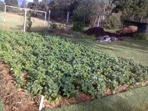 Beans grown in FGW way at a demonstration garden in Kijabe, Kenya
