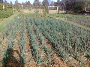 Onions grown in FGW way at a demonstration garden in Kijabe, Kenya