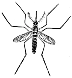 The notorious mosquito as presented in our CHE training lessons pictures.