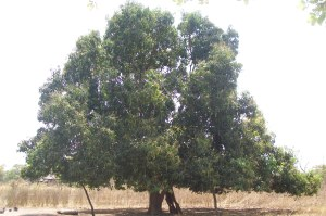 A mango tree in South Sudan
